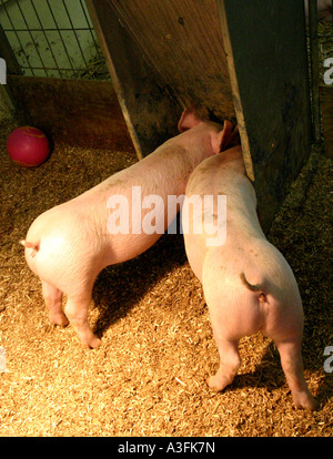 TWO PIGS WITH THEIR BUMS STUCK OUT EATING WAGGING THEIR TAILS  VERTICAL BAPDB9045 - Stock Photo