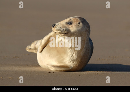 Grey seal Halichoerus grypus pup on beach lying on back begining to show signs of grey coat - Stock Photo