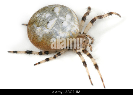 Araneus Quadratus spider on white background. Four Spot Orbweaver - Stock Photo