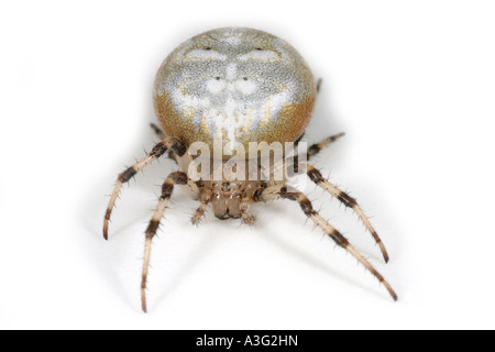 Araneus Quadratus spider on white background. Four Spot Orbweaver. - Stock Photo