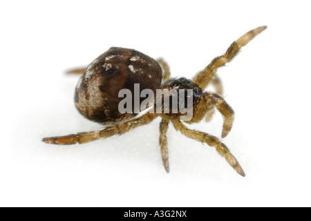 Hyptiotes paradoxus spider, family Uloboridae, on White Background. - Stock Photo