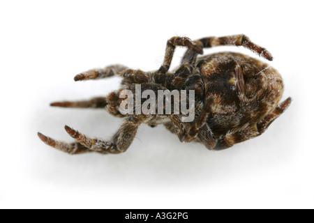 Hyptiotes paradoxus spider, family Uloboridae, on White Background. Hanging upside down. - Stock Photo