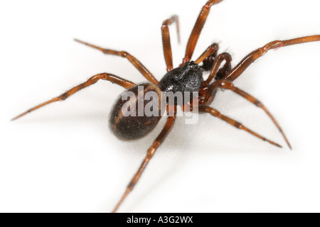A male Steatoda bipunctata spider, Theridiidae family, on white background. - Stock Photo
