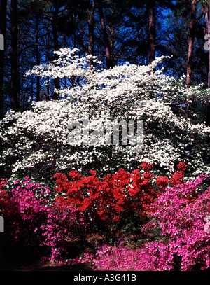 Greenfield Gardens in Wilmington in North Carolina showing dogwood trees and azalea bushes in Spring bloom - Stock Photo