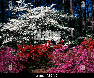 Greenfield Gardens at Wilmington in North Carolina showing dogwood trees and azalea bushes in Spring bloom - Stock Photo