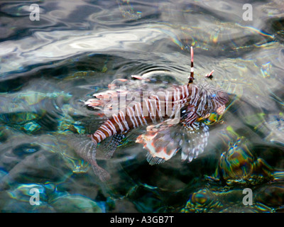 poison poisonous dorsal fin of redfire fish fire  PTEROIS VOLITANS lionfish lion turkeyfish rise above the surface - Stock Photo