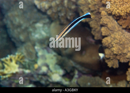 Cleaner Wrasse LABROIDES DIMIDIATUS cleans  cleaning station cleaningstation reef  RED SEA wildlife underwater - Stock Photo