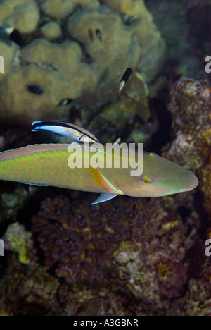 Cleaner Wrasse LABROIDES DIMIDIATUS cleans the gills of a LONGNOSE PARROTFISH parrot fish hipposcarus harid Scarus - Stock Photo