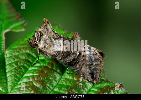 The Spectacle Abrostola tripartita at rest on bramble leaf potton bedfordshire - Stock Photo