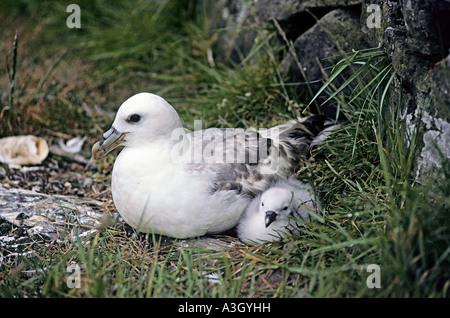 Nesting Fulmar Fulmarus glacialis with chick Bear Island Barents Sea Norway - Stock Photo
