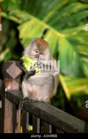 Monkey eats fresh mango fruit. Pangkor Laut island, Malaysia. - Stock Photo