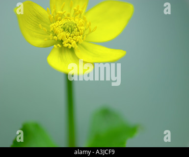 Caltha palustris Kingcup Marsh Marigold - Stock Photo