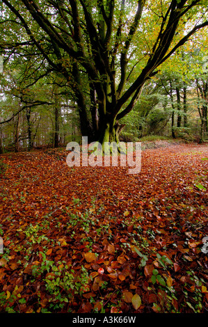 Autumnal woodland scene with golden brown fallen leaves and partially bare trees covered in vivid green lichen - Stock Photo