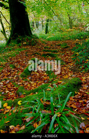 Autumnal woodland scene with golden brown fallen leaves and partially bare trees and exposed roots covered in vivid - Stock Photo