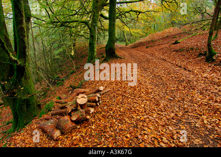Track through autumnal woodland scene with golden brown fallen leaves and partially bare trees covered in vivid - Stock Photo