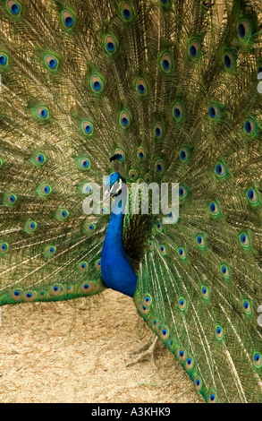 Close up of a peacock displaying its feathers in el Parque del Buen Retiro Madrid Spain Europe - Stock Photo