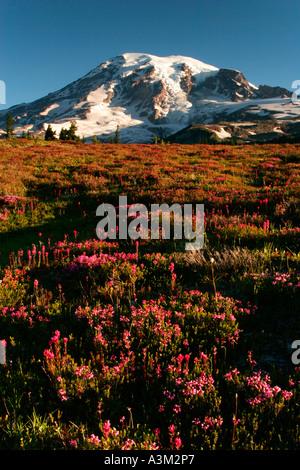 Mt Rainier above meadows of pink heather near Paradise Mount Rainier National Park Washington USA - Stock Photo