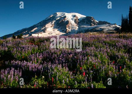 Mt Rainier above meadows of lupine and paintbrush near Paradise Mount Rainier National Park Washington USA - Stock Photo
