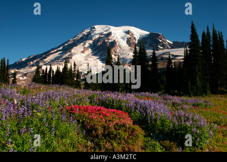 Mt Rainier above meadows of pink heather and lupine near Paradise Mount Rainier National Park Washington USA - Stock Photo