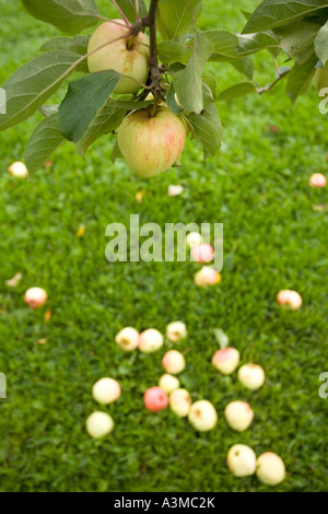 Fallen apples underneath apple tree and branch of apples - Stock Photo