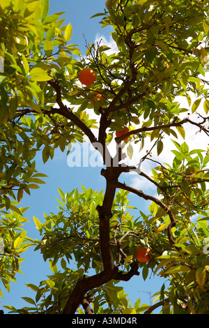 Orange Tree on a street in Seville, Andulucia, Spain with Blue Sky in Background - Stock Photo