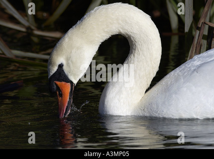 Mute swan dabbling on the River Windrush in Oxfordshire England - Stock Photo