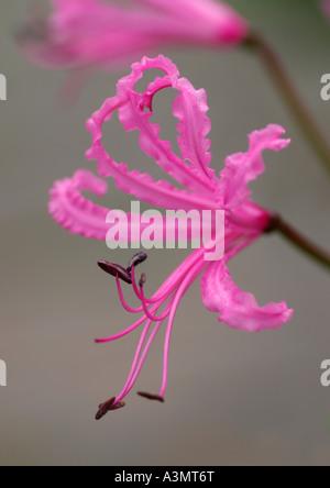 Close up of Nerine bowdenii wellsii - Stock Photo