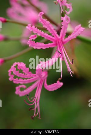 Nerine bowdenii wellsii - Stock Photo