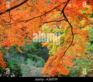 Red autumnal maple leaves Miyajima Island Hiroshima Japan - Stock Photo