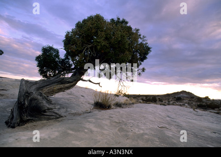 Desert Juniper tree at sunset, Waterpocket fold, Capitol Reef National Park, Utah - Stock Photo