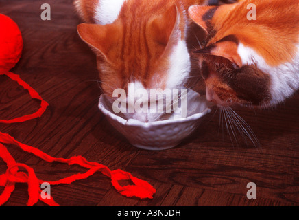 Two Orange and White Domestic Cats Eating From the Same Bowl - Stock Photo