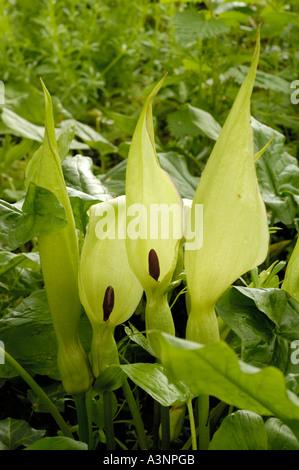 Cuckoo Pint, arum maculatum - Stock Photo