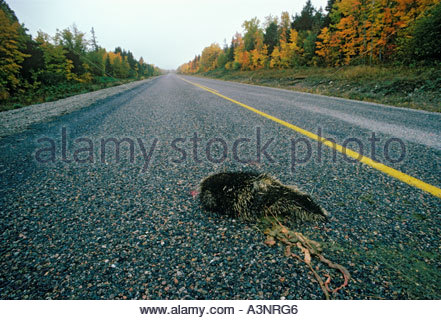 Road killed porcupine in the Renous Game Preserve in New Brunswick Canada - Stock Photo