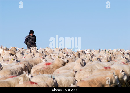 Shepherd with herd of sheep in Brecon Beacons national park, Wales - Stock Photo