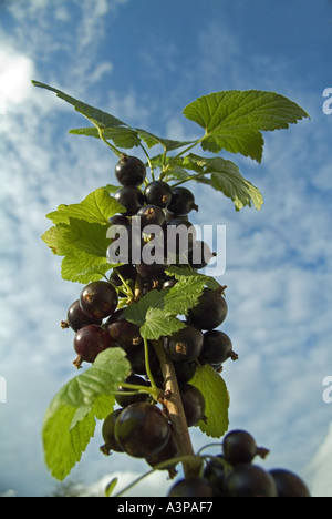 Blackcurrants growing on a branch - Stock Photo