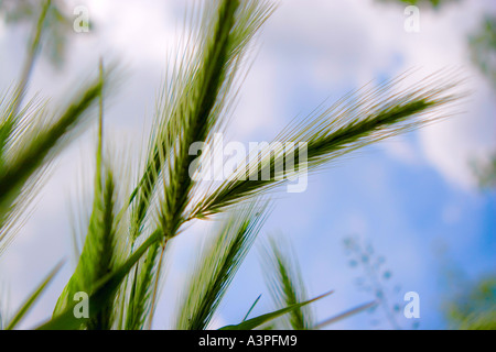 Wheat growing in field against blue sky, underside view, close-up - Stock Photo