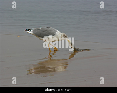 gull European Herring Gull Larus argentatus on beach picking in fish - Stock Photo