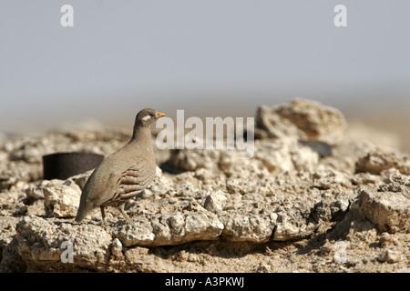 Sand Partridge - Stock Photo