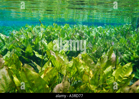 Freshwater plants in national freshwater spring preserve Aquario natural Bonito Mato Grosso do Sul Brazil - Stock Photo