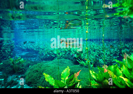Freshwater plants and piraputangas Brycon hilarii in national freshwater spring preserve A - Stock Photo
