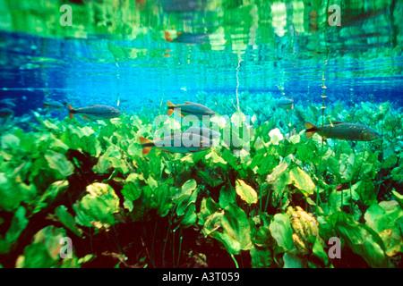 Piraputangas in national freshwater spring preserve Brycon hilarii Aquário natural Bonito Brazil - Stock Photo