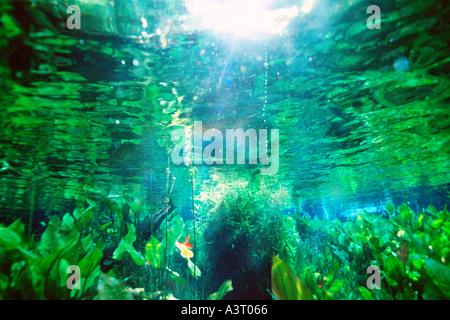 Freshwater plants in national freshwater spring preserve Aquario natural Bonito Brazil - Stock Photo