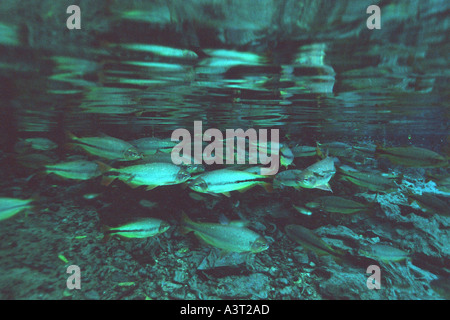 Piraputangas in national freshwater spring preserve Brycon hilarii Aquário natural Bonito Brazil - Stock Photo