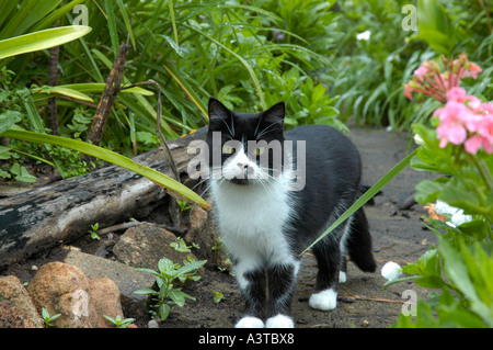 Black and white cat roaming in garden trying to catch birds - Stock Photo