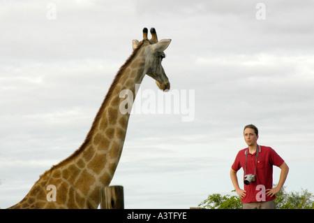 female giraffe looking down at photographer at Bubi River lodge Zimbabwe Africa - Stock Photo
