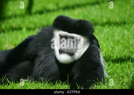 Monkey Relaxing in the sun in a protected compound in Kenya Lie Lying sun sunbathing relax relaxing relaxes sunning - Stock Photo