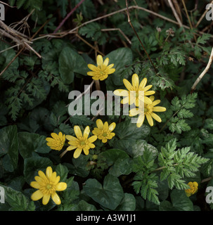 lesser celandine Ranunculus ficaria mature plant in flower in early spring - Stock Photo