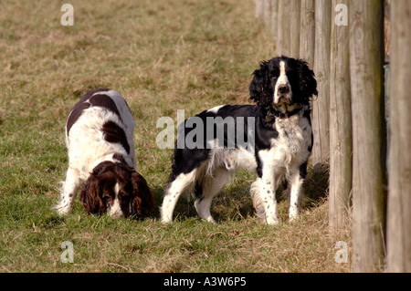 Two springer spaniels one looking towards camera by field fence - Stock Photo