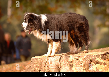 TWO BORDER COLLIE DOGS ON A TREE STUMP IN A WOODLAND SETTING UK - Stock Photo