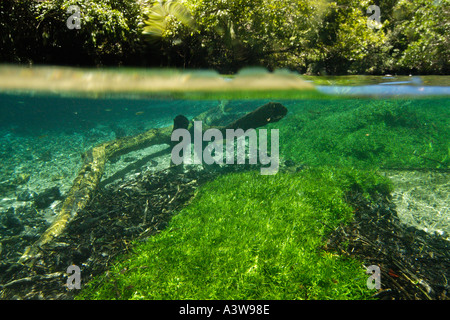 Submerged tree trunk and freshwater grass in stream natural freshwater spring preserve Prata river Bonito Brazil - Stock Photo